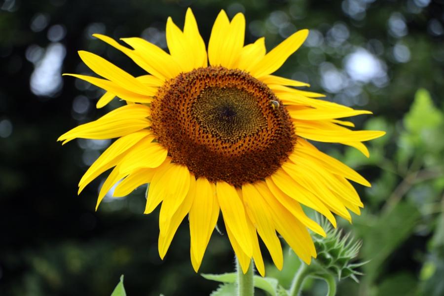 Sunflowers in the FrontYard