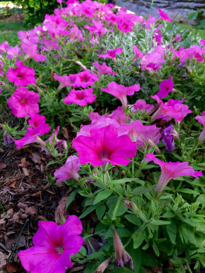 Passion for Petunias
