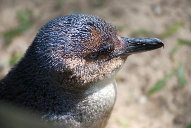 penguin-68142_1920 (1)